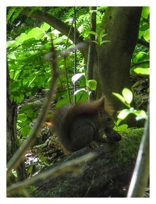 Ramberg und der Dahner Felsenpfad - Eichhörnchen