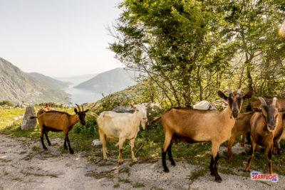 Ziegen an der Gebirgsstraße, die hinunter zur Bucht von Kotor führt